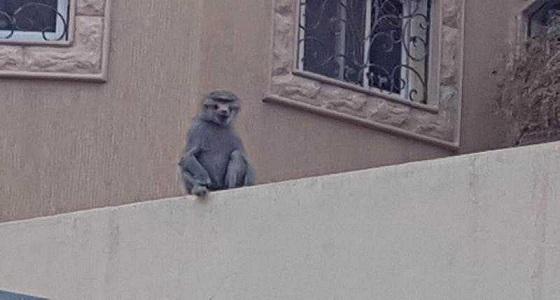 بالصور.. قرود تتسلل إلى منازل حي السويدي بالرياض