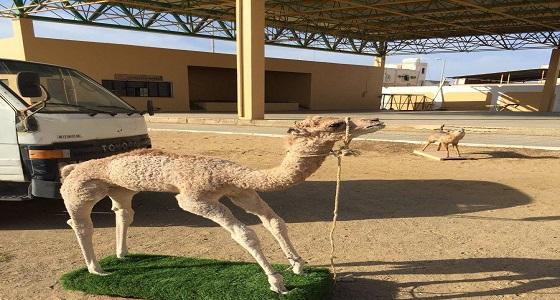 بالصور.. معلم يحول فناء مدرسة إلى حديقة لعرض الحيوانات المحنطة بتبوك
