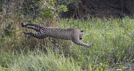 بالفيديو والصور.. معركة ضارية بين نمر وتمساح تنتهي بالموت