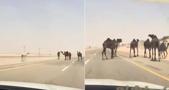 بالفيديو.. إبل سائبة تقطع الطريق و « المرور » يكشف العقوبة