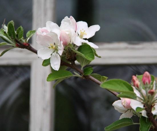Frugttræ i blomst - det er fredag og snart weekend