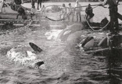 Orca Capture