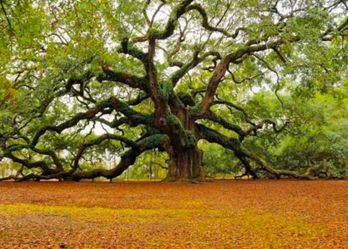 The ancient oak