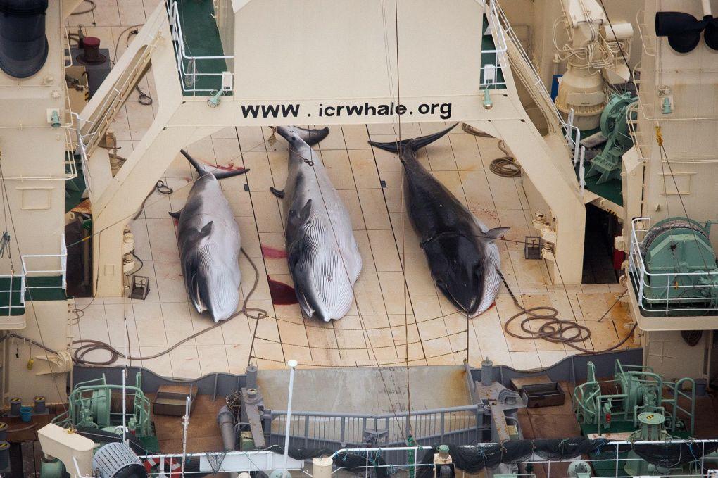 Poached Minkes on Japanese ship inside Southeron Ocean Whale Sanctuary
