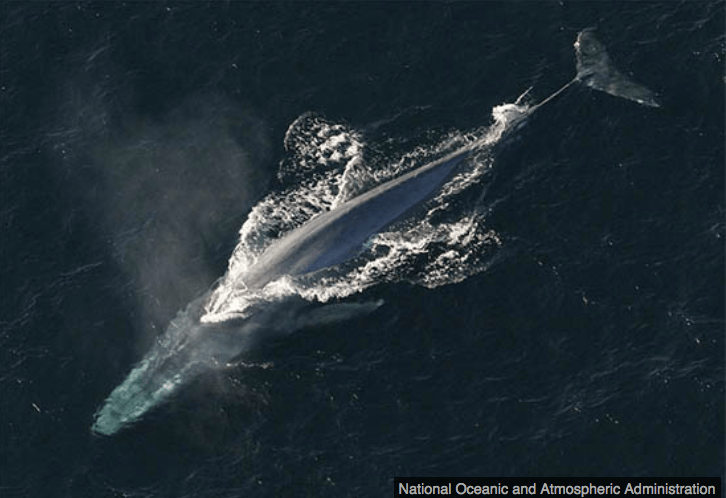 Blue Whale - Iceland Whaling