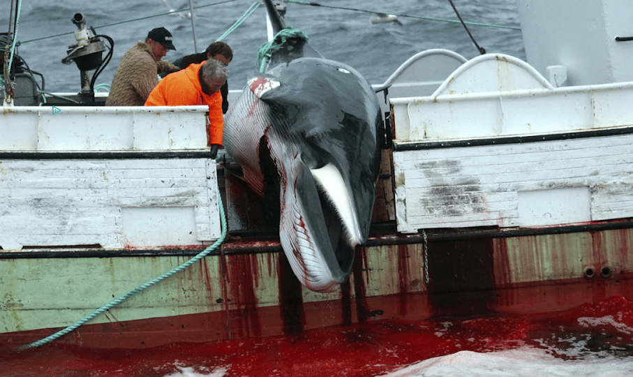 Executed Whale - Iceland Whaling