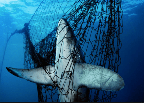 Shark caught in fishing net. [Extinction of Sea Turtles]