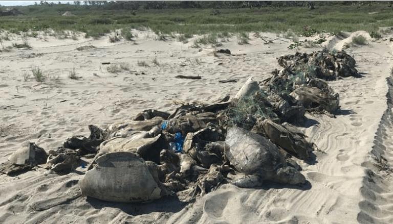 A wave of dead sea turtles