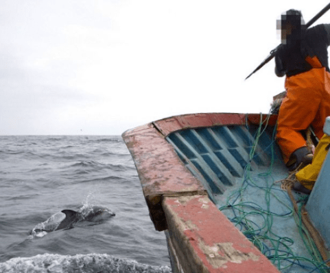 Whaling - Peruvian Fisherman killing dolphins for bait