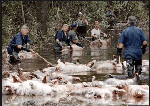 Drowned pigs and chickens during hurricane florence