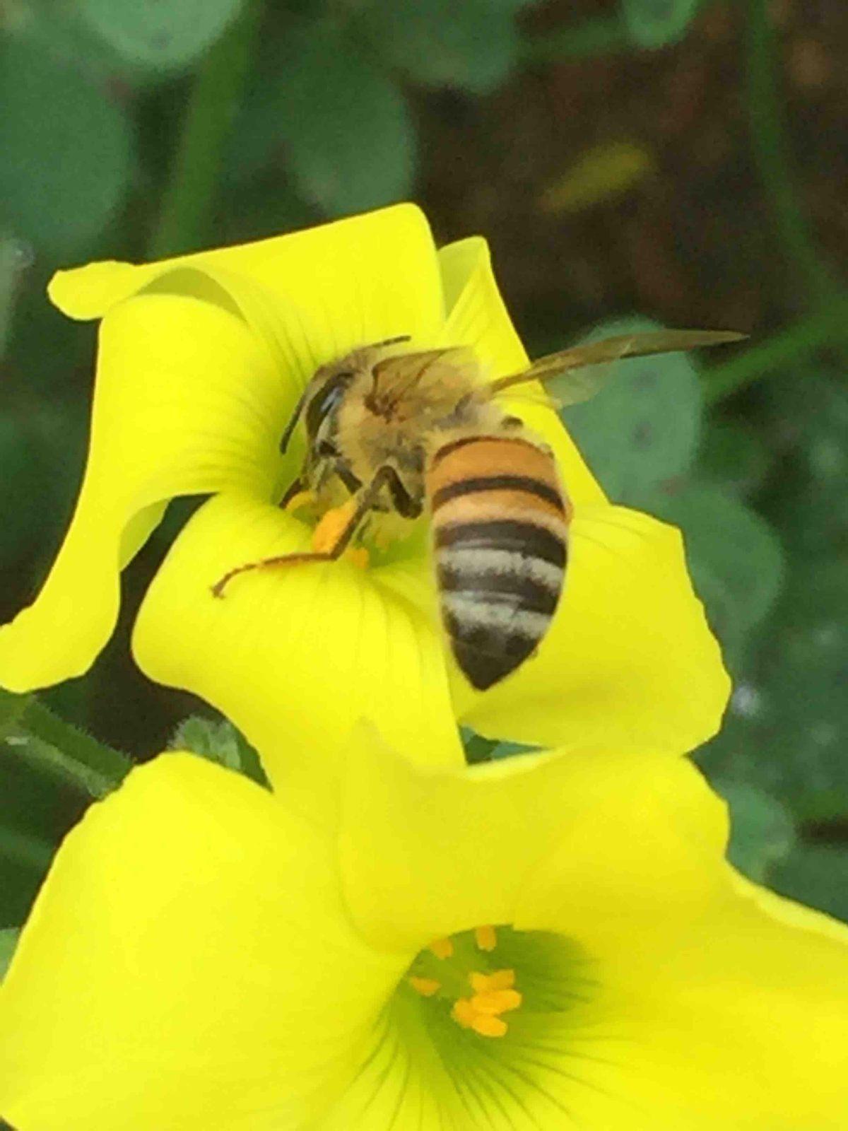 Bees - worker bee collecting pollen