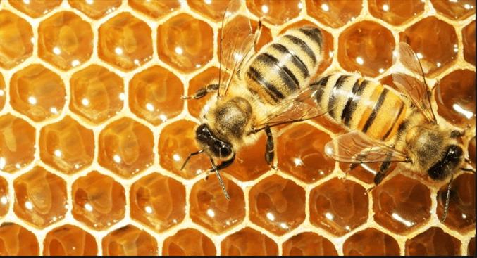 Bees - honeybees