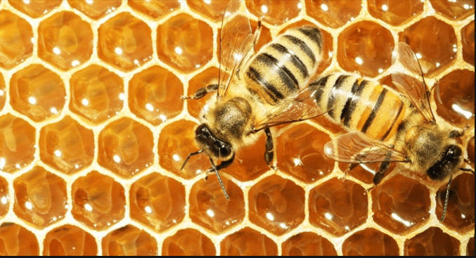 Bees - honeybees