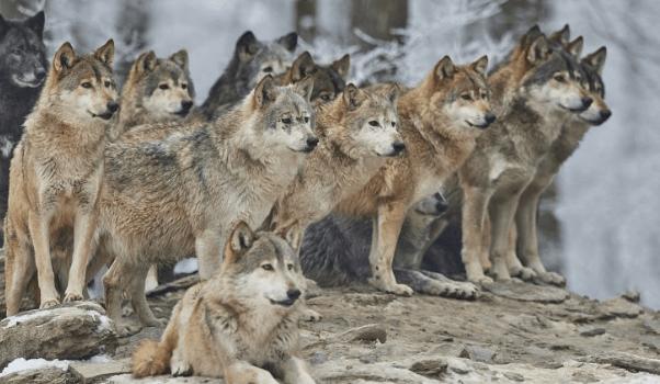 Family of wolves