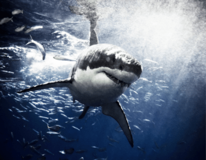 Sharks and Covid-19 vaccine
