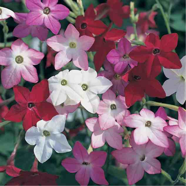 Nicotiana grows in the Wrysons' garden.