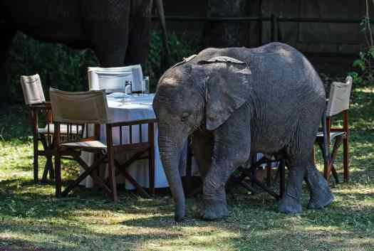 a baby elephant walks past an outdoor dining set