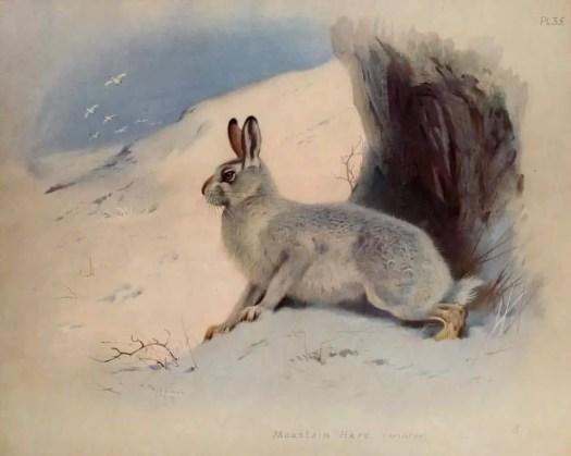 Mountain Hare (winter) Archibald Thorburn for 'British Mammals, Vol. 2.' ~ 1921