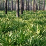 Popular Male Enhancement Ingredients: All You Should Know About Saw Palmetto