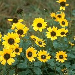 Popular Male Enhancement Ingredients: All You Should Know About Helianthus