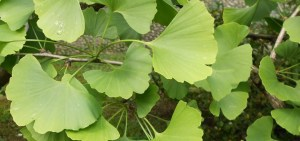 The Amazing Health and Male Enhancement Benefits of Ginkgo Biloba