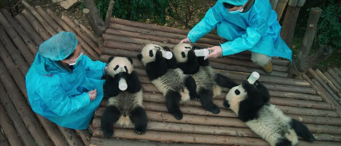 Pandas trailer