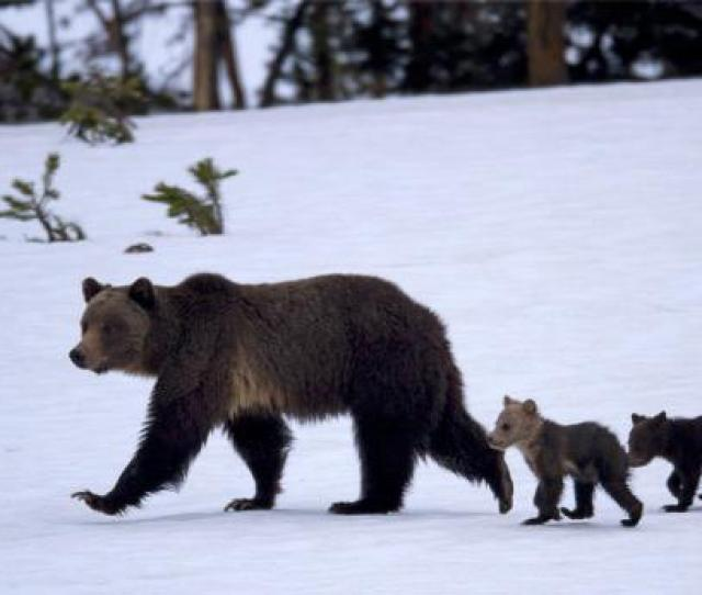 The Wapiti Grizzly Sow With Her Cubs In June 2011