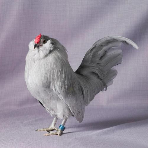 Tamara Staples The Magnificent Chicken Self Blue Bearded D'anvers Cockerel
