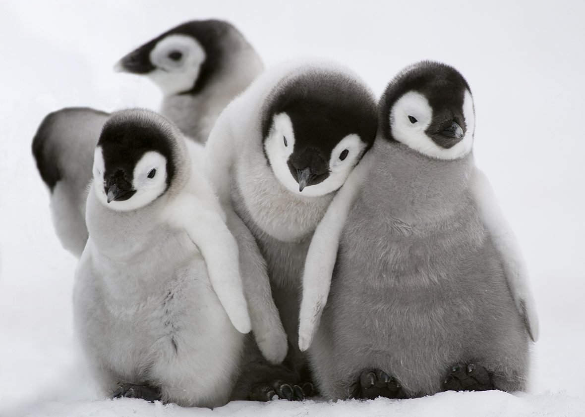 Why are animals cute  Scientists on Twitter compete in  CuteOff of     Emperor Penguin chicks