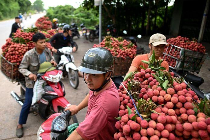 Des agriculteurs vietnamiens transportent des litchis récoltés pour les vendre à des commerçant·es qui les écoulent au niveau national dans un marchédu district de Lục Ngạn, dans la province de Bắc Giang au Vietnam le 9 juin. Le pays est l'un des plus gros exportateurs de ces fruits dont il envoiejusqu'à 100.000 tonnes par an à l'étranger pour plus de 26 millions d'euros. Le litchi ne se récolte que pendant six semaines de mi-mai à fin juin.
