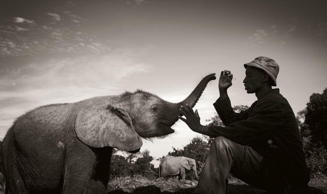«Kibo avait été sauvé par le David Sheldrick Wildlife Trust dans des circonstances dramatiques, puis avait été élevé dans la nurserie de la Fiducie à Nairobi. Nous étions en route pour aller voir la tribu Hadzabe en Tanzanie et les gorilles des montagnes du Rwanda, mais nous avions une longue escale à Nairobi. Il était donc naturel que nous rendions visite à Kibo et prenions quelques photos.Aujourd'hui, il vit dans le bush avec d'autres éléphants sauvages.»