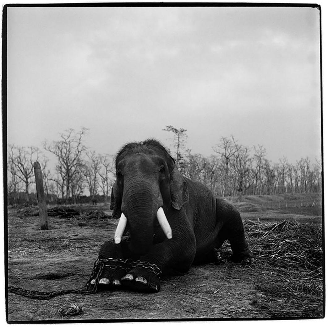 «Quand j'ai pris cette photo au Népal, je ne me suis pas rendu compte qu'elle serait l'image principale demon travail. Elle dit tout du commerce illégal et de la violence des êtres humains envers les animaux. Cet éléphant était enchaîné par les pattes, au milieu d'une environnement dénudé, composé uniquement de branches éparses. C'était le plus grand que j'ai jamais vu et il avait 50ans. J'ai appris plus tard qu'il était enchaîné parce qu'il avait tué cinq cornacs (maîtres) au cours de sa vie.»