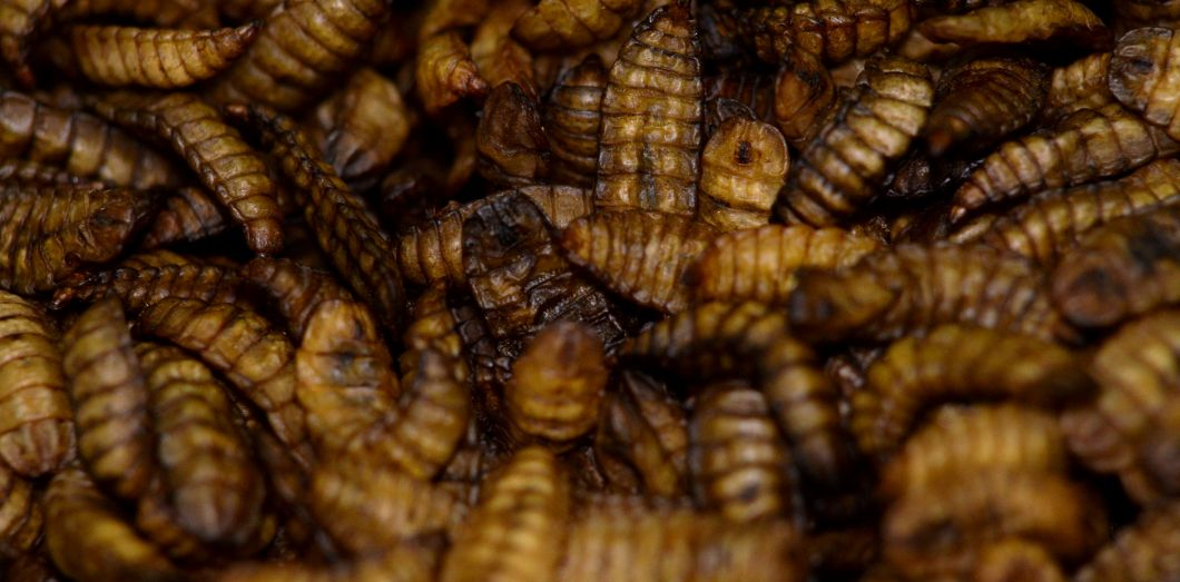 Letaux de protéines des insectes estsouvent plus élevé que celui de la viande ou du poisson.|Guillaume Souvant / AFP