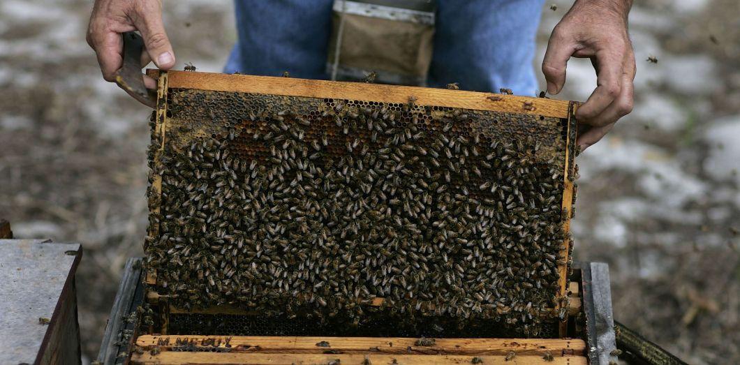 Beaucoup d'apiculteurs américains signent des contrats avec les producteurs d'amandes.| Joe Raedle / Getty Images North America / AFP