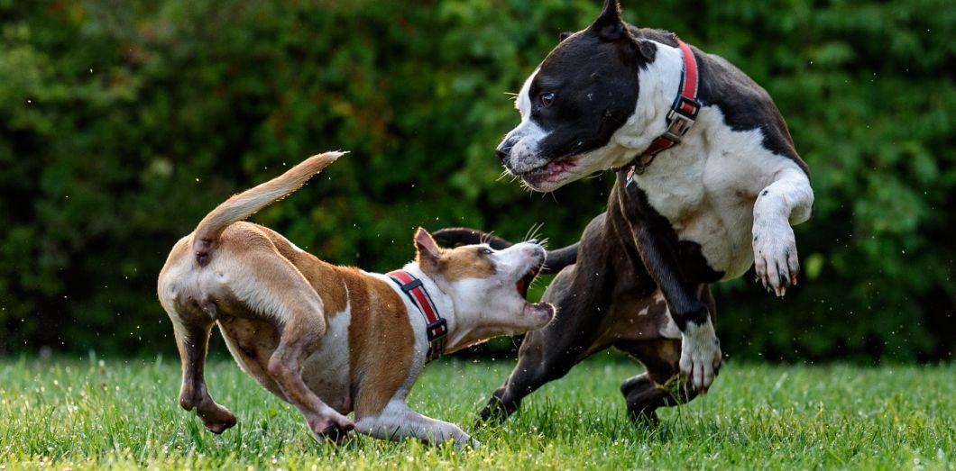 Une pétition a été lancée afin d'obliger Facebook à modérer les vidéos de combats de chiens. | David Taffet via Unsplash