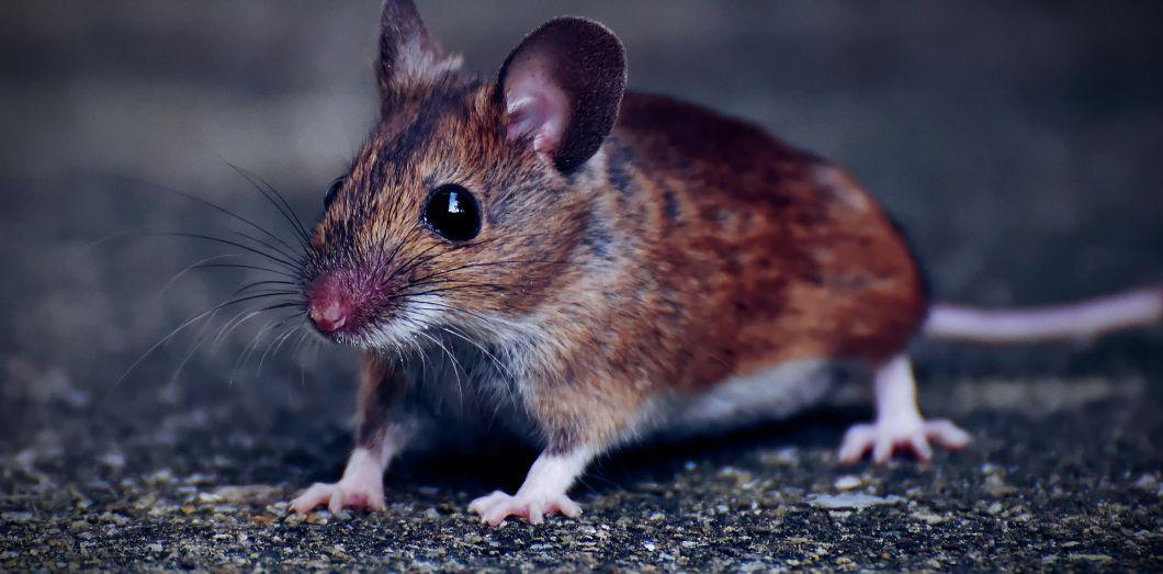 Beaucoup plus de souris, c'est beaucoup moins d'océanites cendrés. | Alexas_Foto via Pixabay