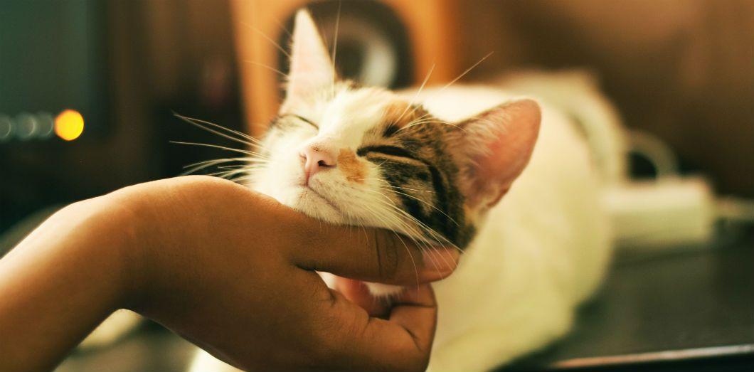 Ménager ses caresses est le moyen le plus efficace pour s'attirer les faveurs de nos petites boules de poils | Yerlin Matu License by