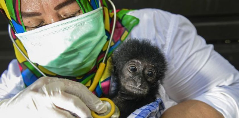 Un vétérinaire indonésienne soigne un bébé singe en septembre 2018 | Chaideer Mahyuddin / AFP