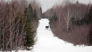 maine-moose-snowmobile-trail