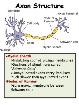 Nervous System  Presentation Biology  SliderBase
