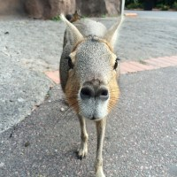 Buenos Aires Zoo: Close Encounters with the Patagonian Mara