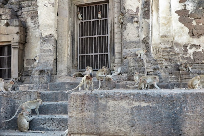 lopburi monkeys 4