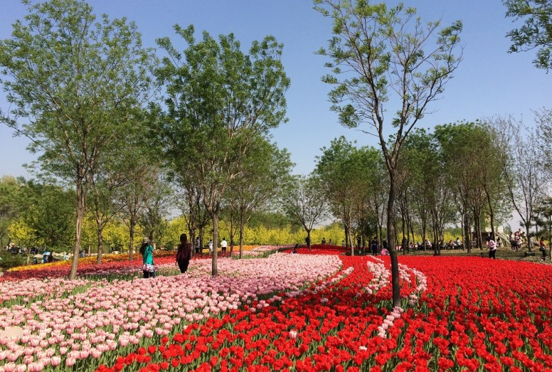 Beijing tulip fields 10