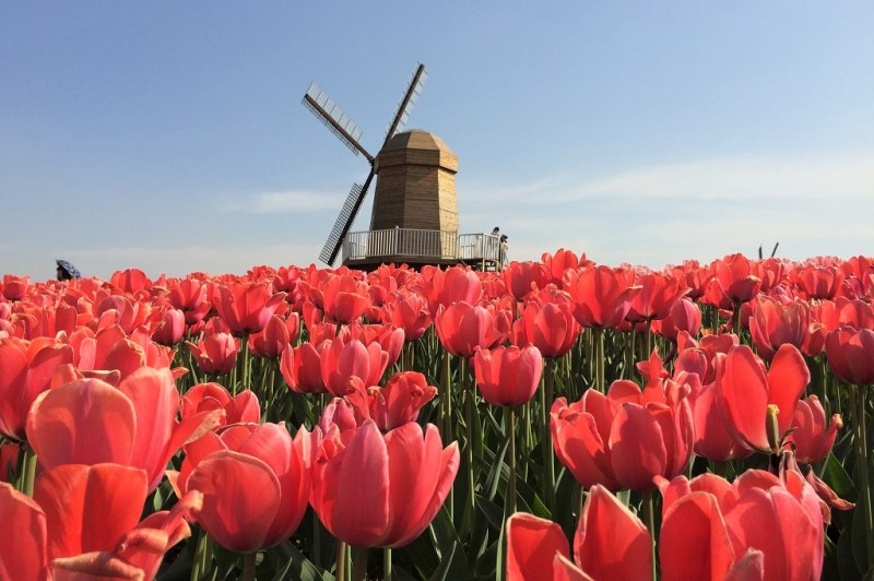 Beijing tulip fields 16