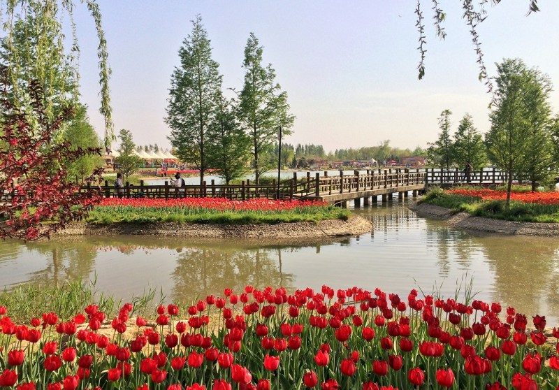 Beijing tulip fields 19
