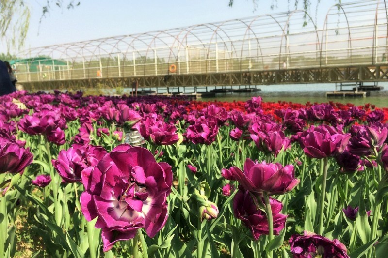 Beijing tulip fields 4