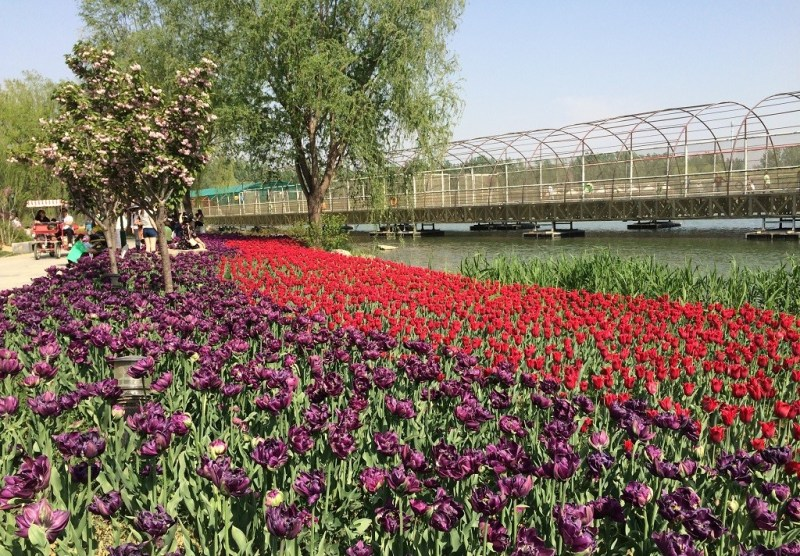 Beijing tulip fields 5