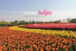 I can't believe I'm not in Holland! – Tulips in Beijing