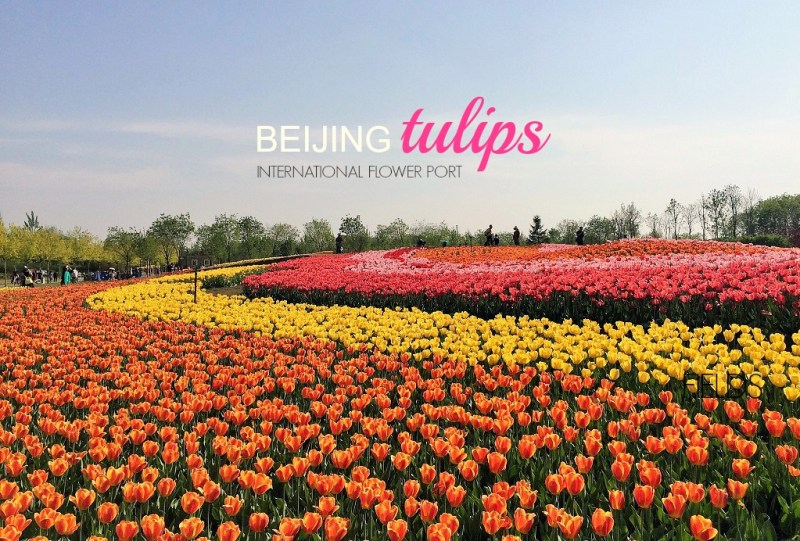 Beijing tulip fields feature pic
