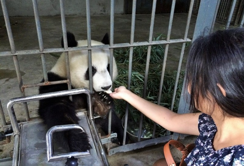 feeding a panda!